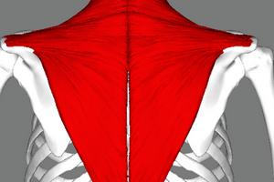Что собой представляет трапециевидная мышца человека? | Анатомия